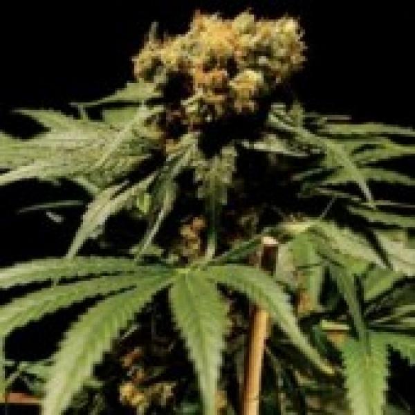 The Chronic Feminised Cannabis Seeds | Bulldog  Seeds