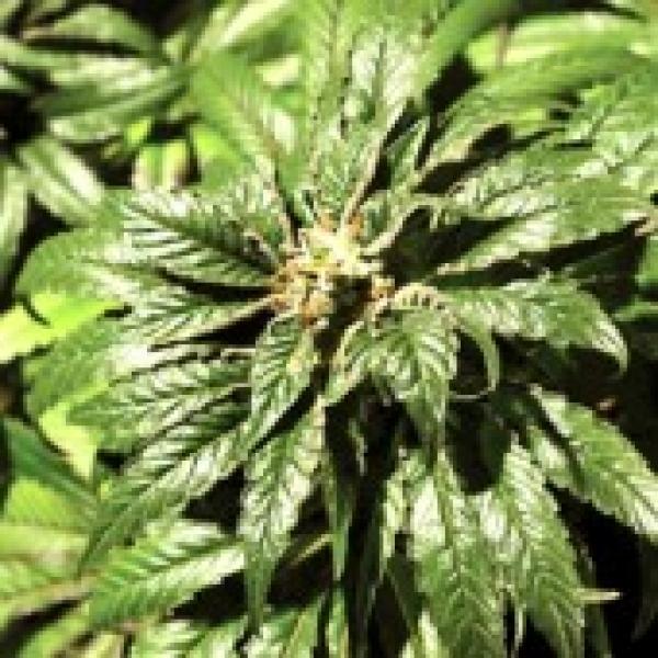 Bubblegum Kush Feminised Cannabis Seeds | Bulldog Seeds
