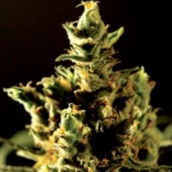 The Bulldog Haze Feminised Cannabis Seeds | Bulldog Seeds