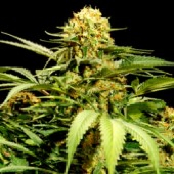 Bullshark Feminised Cannabis Seeds | Bulldog Seeds