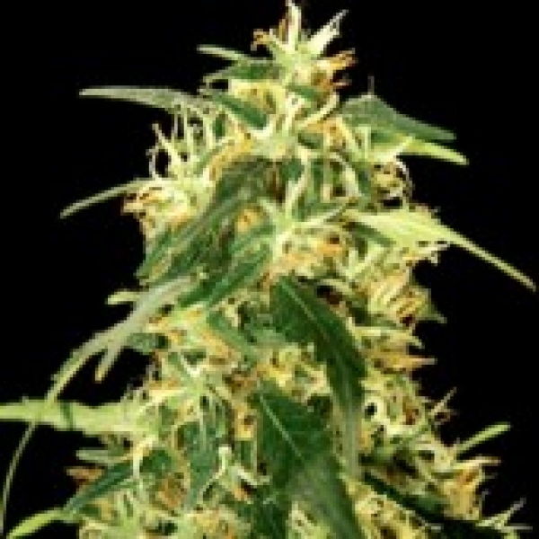 Silverstar Haze Feminised Cannabis Seeds | Bulldog Seeds