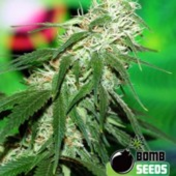 Bomb Seeds Buzz Bomb  Feminised Cannabis Seeds For Sale