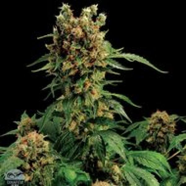 California Hash Plant Feminised Cannabis Seeds | Dinafem Seeds