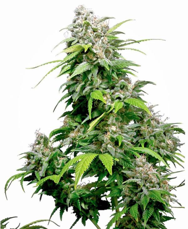 California Indica Feminised Cannabis Seeds | Sensi Seeds