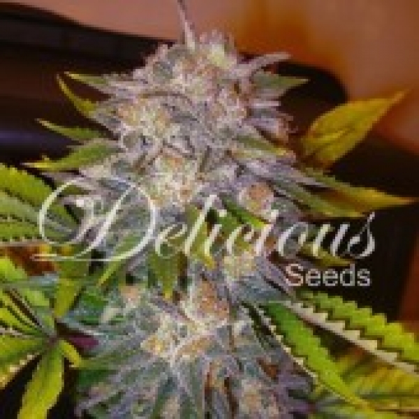 Caramelo Feminised Cannabis Seeds | Delicious Seeds