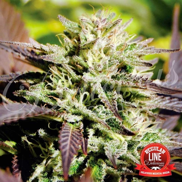 Caramelo Regular Cannabis Seeds | Delicious Seeds