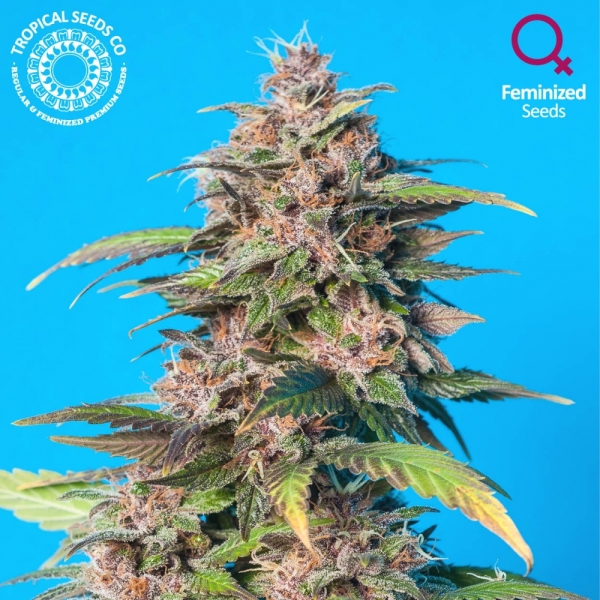 Smooth Smoke Feminised Cannabis Seeds | Tropical Seeds