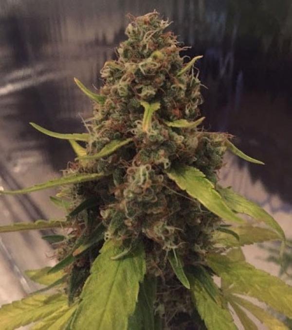 3D Regular Cannabis Seeds