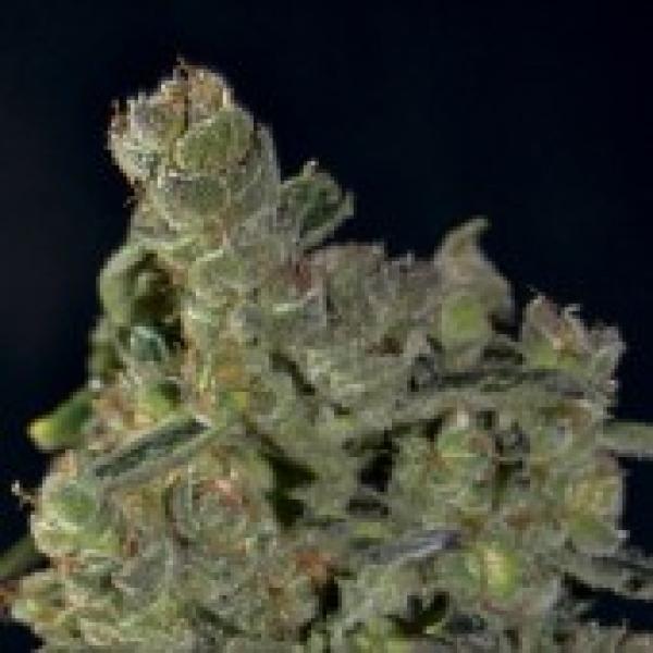 Auto Diesel Feminised Cannabis Seeds |  CBD Seeds Auto Flowering Line