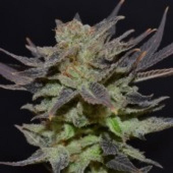 Auto Lavender Feminised Cannabis Seeds | CBD Seeds Auto Flowering Line