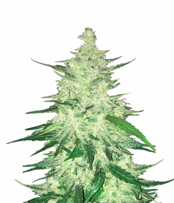 CBD Crack Auto Feminised Cannabis Seeds | Fast Buds
