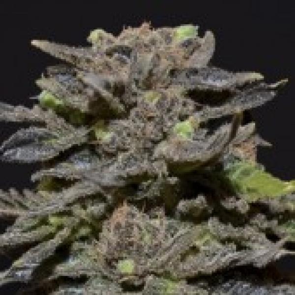 Magma Feminised Cannabis Seeds    CBD Seeds Medical Line