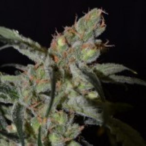 Shark Feminised Cannabis Seeds   CBD Seeds Classic Line