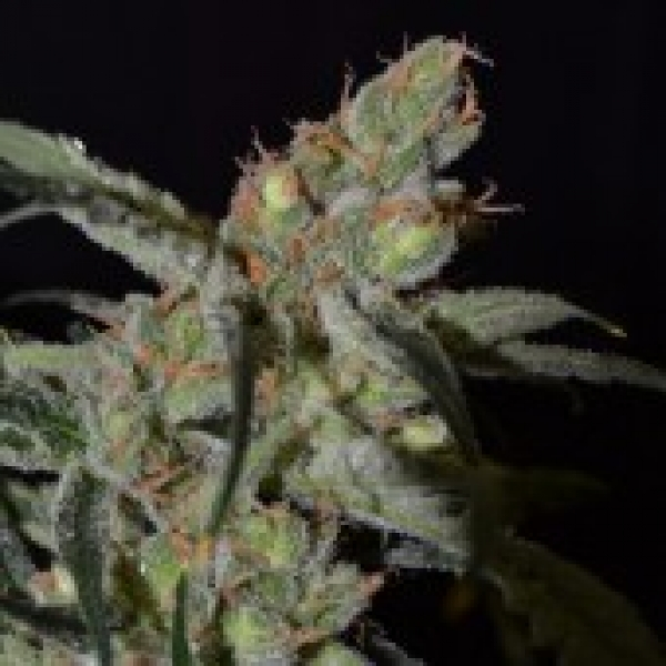 Shark Feminised Cannabis Seeds | CBD Seeds Classic Line