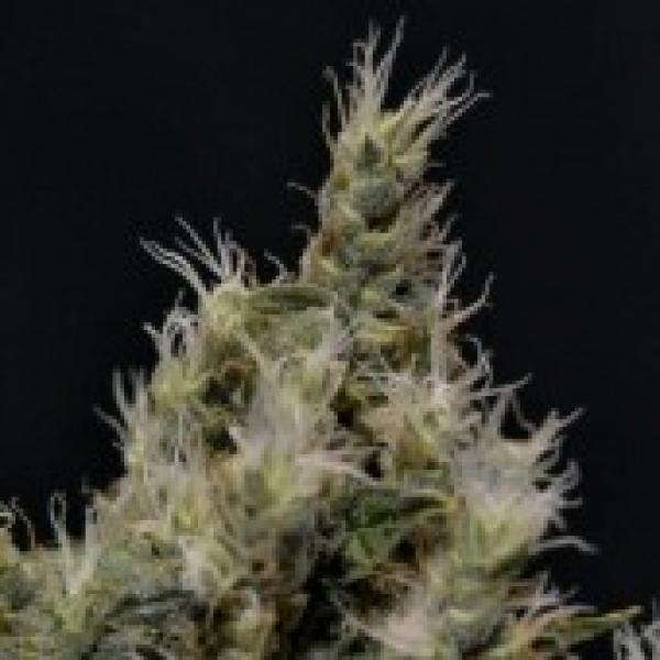 Vanilla Haze Feminised Cannabis Seed   CBD Seeds Medical Line