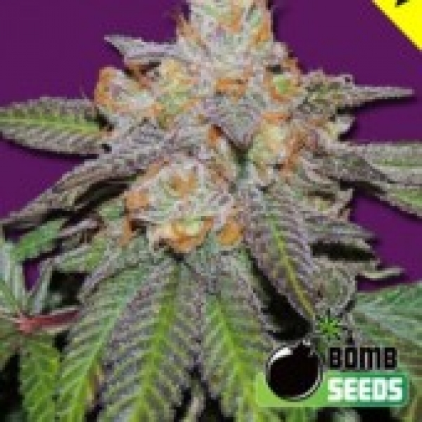 Bomb Seeds Cherry Bomb Auto Feminised  Cannabis Seeds For Sale
