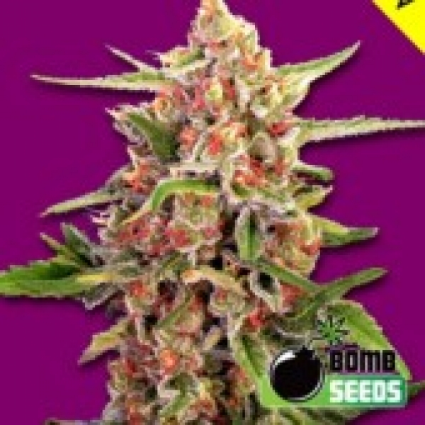 Cherry Bomb Regular Cannabis Seeds | Bomb Seeds
