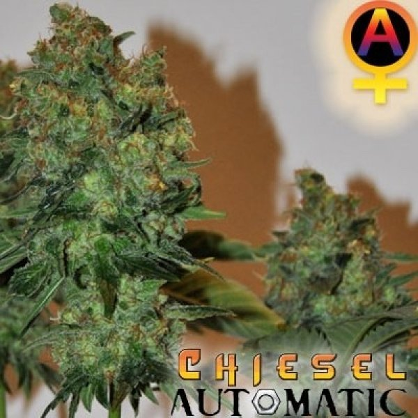 CHIESEL Automatic Feminised Cannabis Seeds | Big Buddha Seeds