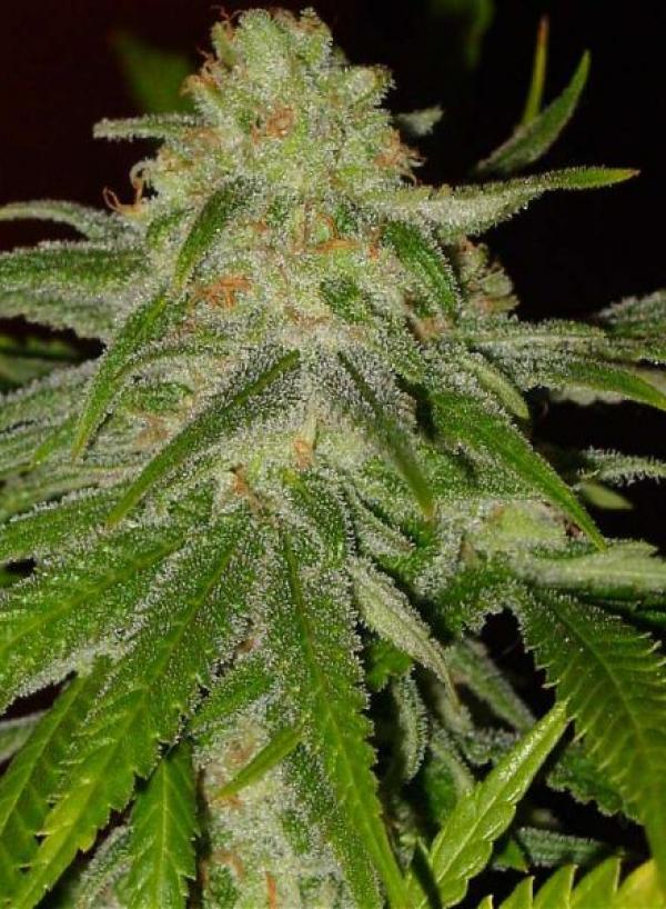 Cinderella 99 Feminised Cannabis Seeds   BC Bud Depot