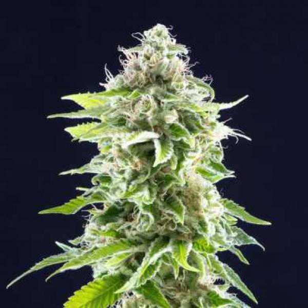 Cookies Haze Feminised Cannabis Seeds | Kannabia