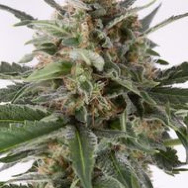 Critical + Automatic Feminised Cannabis Seeds | Dinafem Seeds