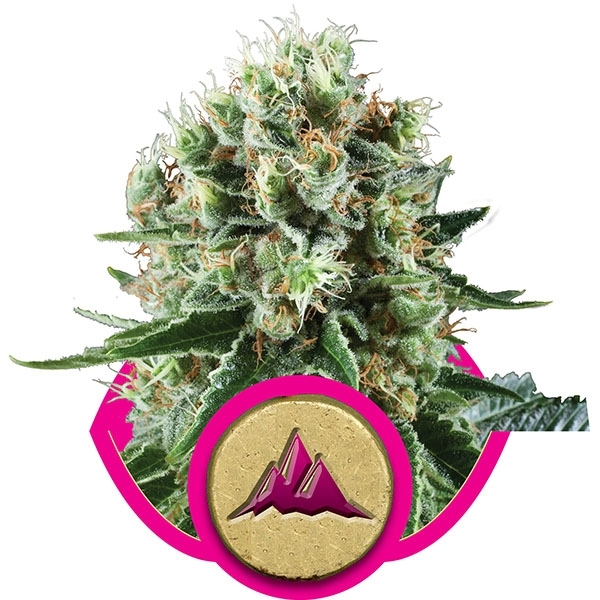 Critical Kush Feminised Cannabis Seeds | Royal Queen Seeds