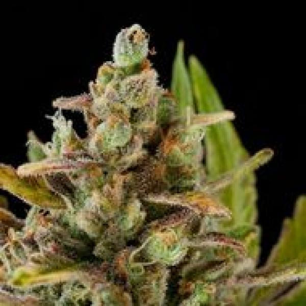 Critical Kush Feminised Cannabis Seeds