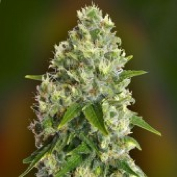 Advanced Seeds Critical Soma Feminised Cannabis Seeds