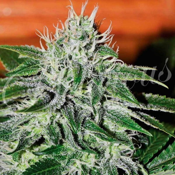 Critical Jack Herer Feminised Cannabis Seeds | Delicious Seeds