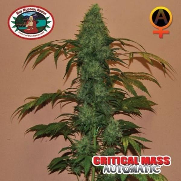 Critical Mass Automatic Feminised Cannabis Seeds | Big Buddha Seeds