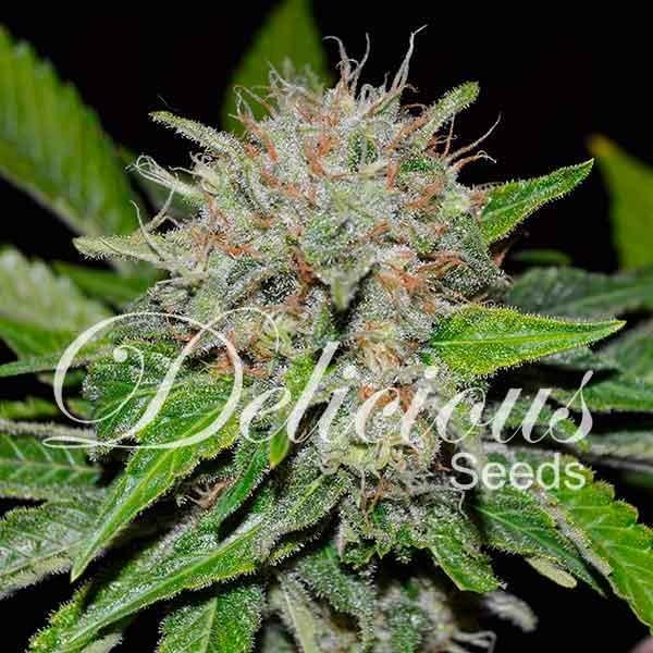 Deep Mandarine Feminised Cannabis Seeds | Delicious Seeds