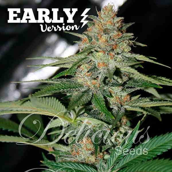 Delicious Candy Early V Feminised Cannabis Seeds | Delicious Seeds