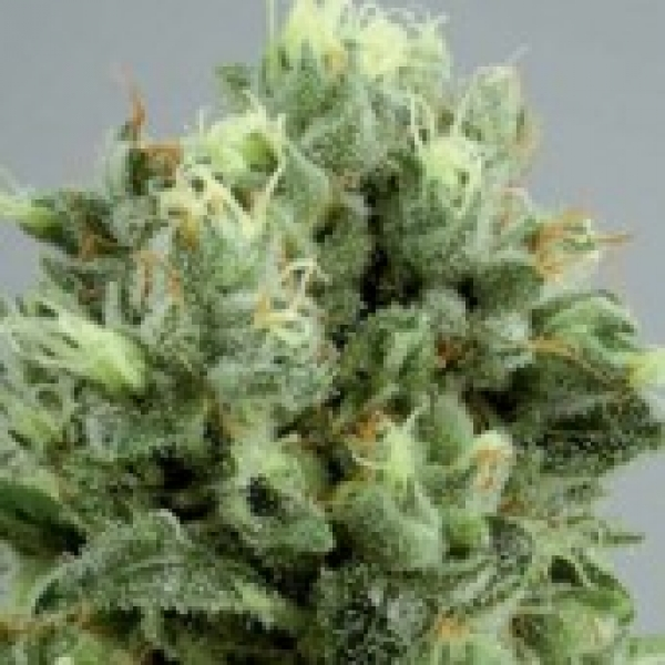 Lemon Bud Feminised Cannabis Seeds