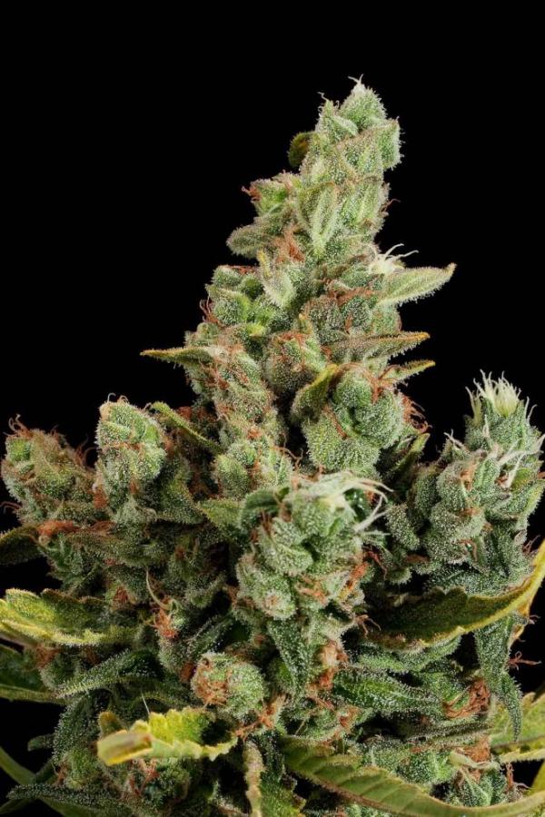 Cheese Feminised Cannabis Seeds | Dinafem Seeds