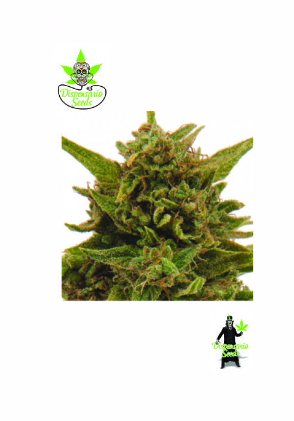 Eter Blueberry Feminised Cannabis Seeds | Dispensario Seeds
