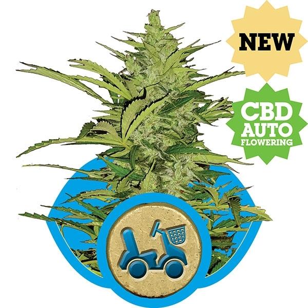 Fast Eddy CBD Auto Feminised Cannabis Seeds   Royal Queen Seeds
