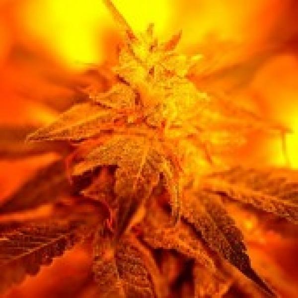 Fondue Feminised Cannabis Seeds | Delta 9 Labs