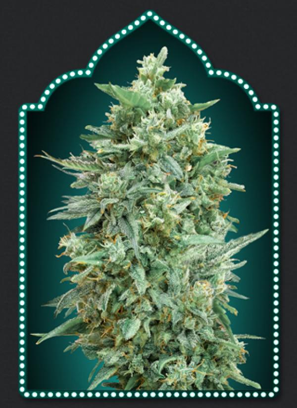 Auto Northern Lights XXL Feminised Cannabis Seeds   OO Seeds