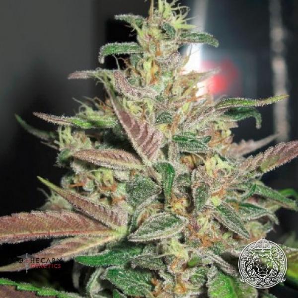Frosty Berry Regular Cannabis Seeds | Apothecary Genetics Seeds