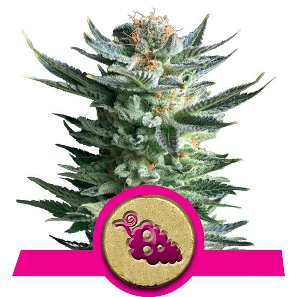 Fruit Spirit Feminised Cannabis Seeds   Royal Queen Seeds