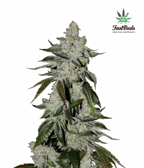 Girl Scout Cookies Auto Feminised Cannabis Seeds | Fast Buds