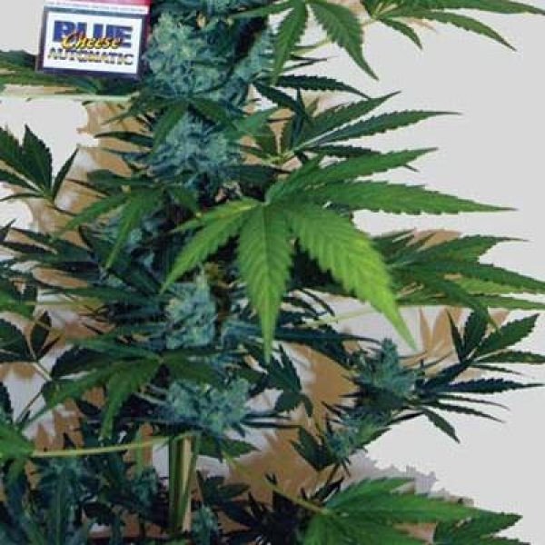 Big Buddha Seeds Blue Cheese Automatic Feminised Cannabis Seeds For Sale