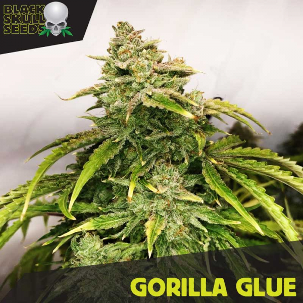 Gorilla Glue Feminized Cannabis Seeds | Black Skull Seeds
