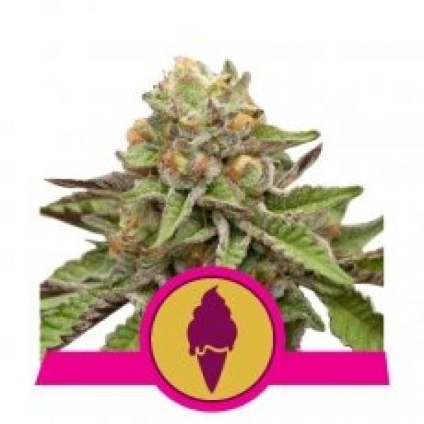Green Gelato Feminised Cannabis Seeds   Royal Queen Seeds