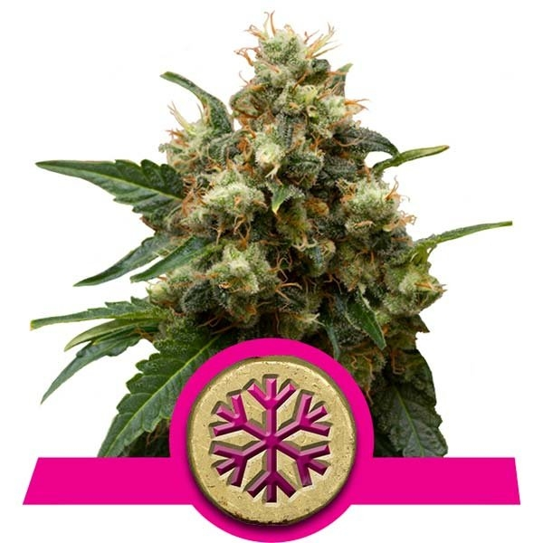 ICE Feminised Cannabis Seeds | Royal Queen Seeds