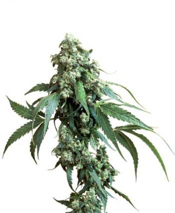 Jack Flash Regular Cannabis Seeds | Sensi Seeds