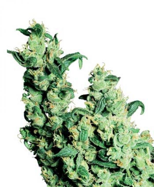 Jack Herer Regular Cannabis Seeds   Sensi Seeds