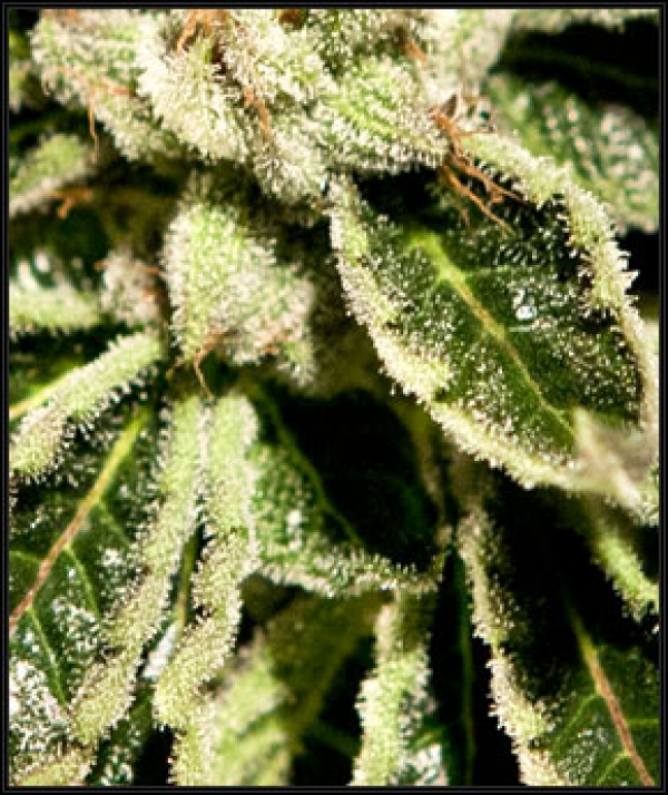 Kaia Kush Feminised Cannabis Seeds | Green House Seeds
