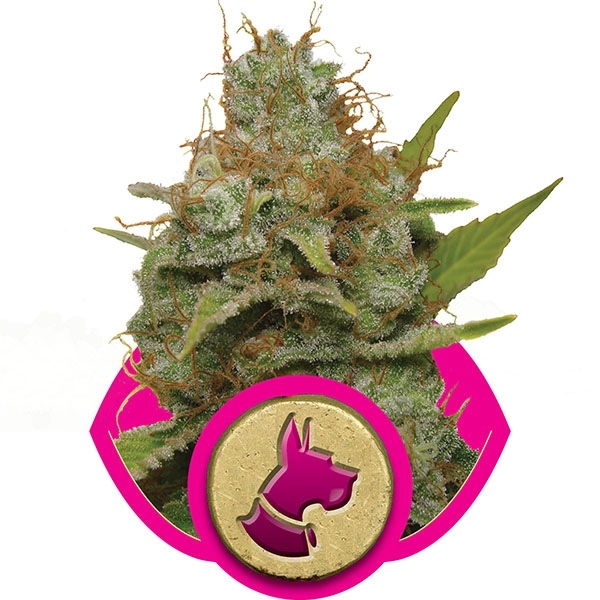 Kali Dog Feminised Cannabis Seeds | Royal Queen Seeds