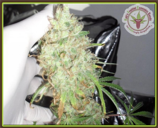Dr Krippling Kalis Fruitful Range Kalis Lullaby Feminised Cannabis Seeds For Sale